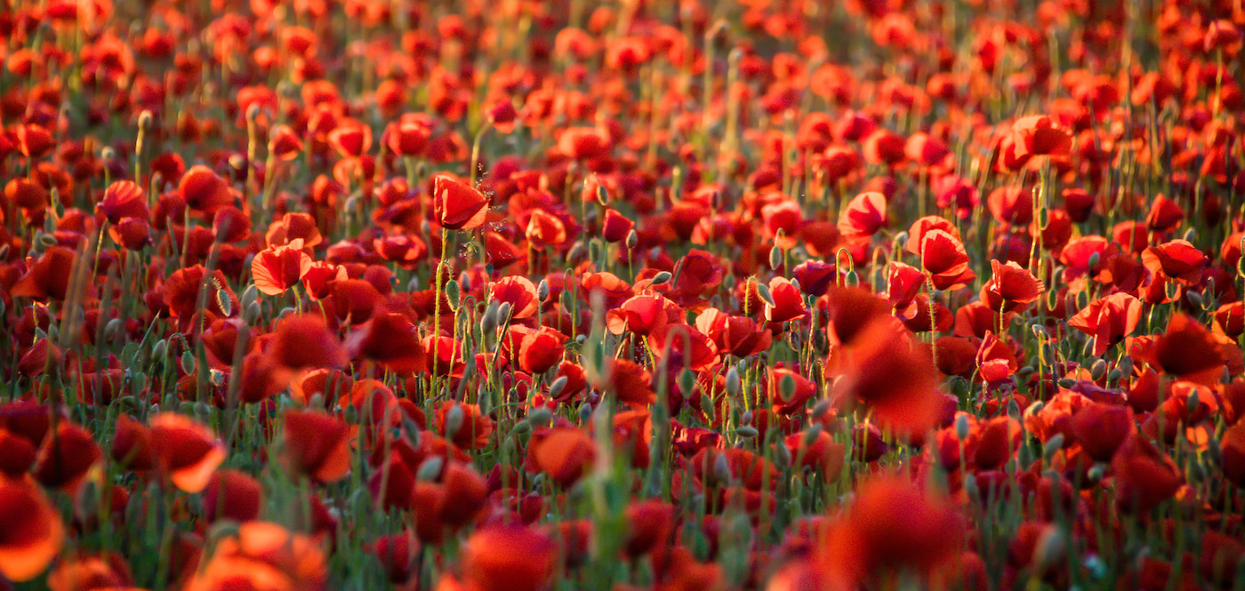 Alternative Monatshygiene – Der rote Mohn